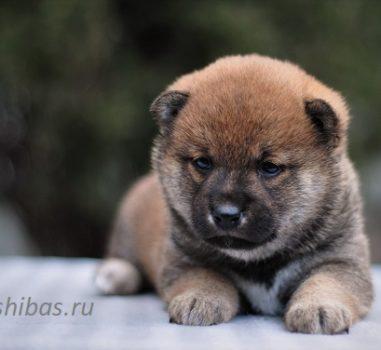 Д.р. 8.02.2020 Свободных щенков нет