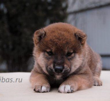 Д.р. 8 марта 2020 Свободных щенков нет